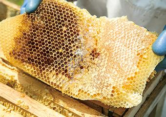 ミツバチの巣を巣箱から取り出した様子